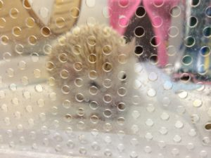 ハリネズミのポンデさん20180331
